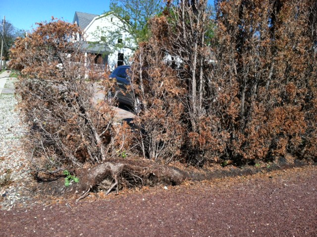 shrubs uprooted