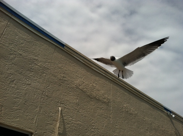 Gull hovering
