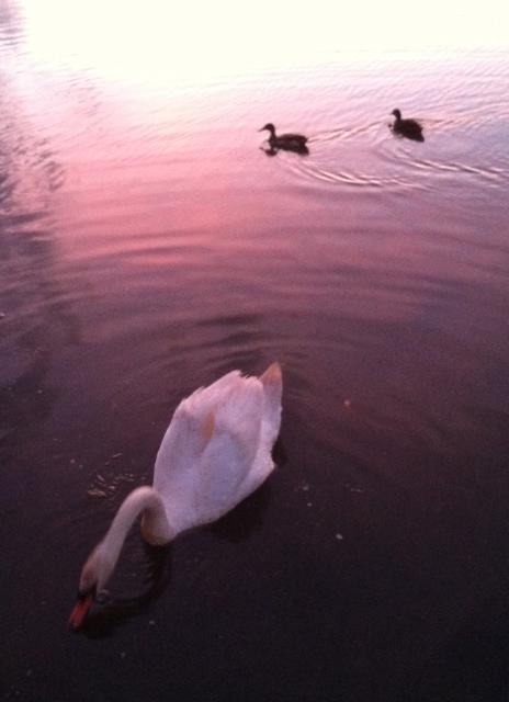 Swan & Ducks Better