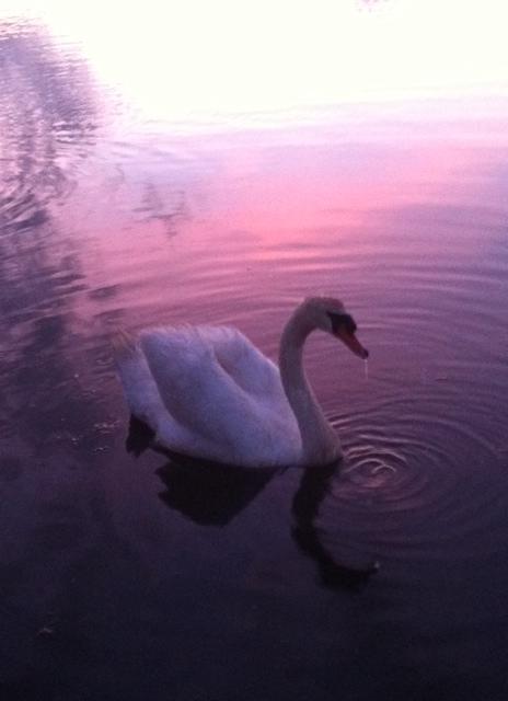 Swan Pretty Colors