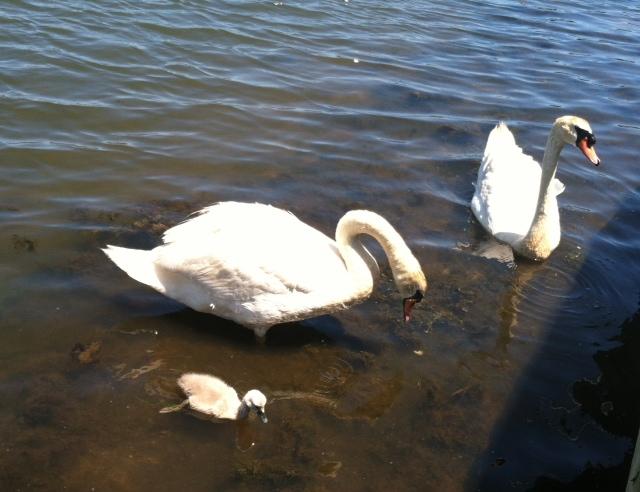 Swan Siggy